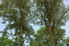 wiazania na drzewach